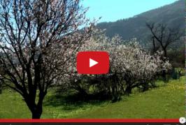 En Valsequillo ya están floreciendo los almendreros, ofreciendo una magnífica estampa del municipio.