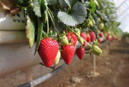 La fresa se queda sin su fiesta en Valsequillo