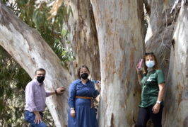 El Drago de Luis Verde y los Eucaliptos Rojos de Tecén, declarados «árboles singulares» de Gran Canaria